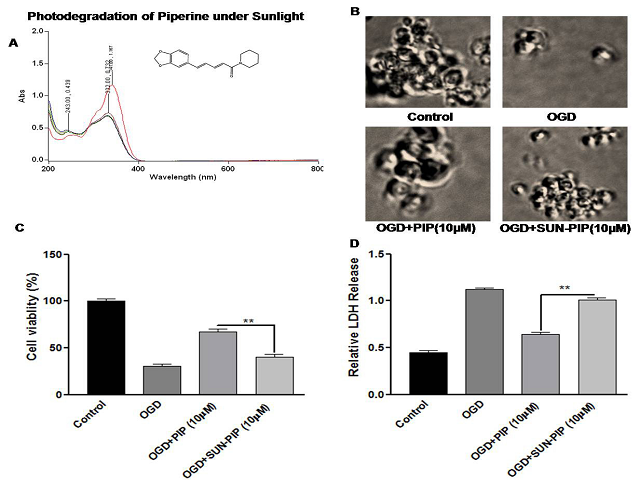 Absorbance spectra of PIP under UV-R by UV-vis-Spectrophotometer. (A) Absorbance spectra of PIP (5μg/ml) showed absorbance in UV-R region indicate their photosensitization and alter the neuroprotective efficacy. (B) Morphological picture of PC12 cells. (C) PIP treatment significantly inhibits OGD induced LDH release compared to that of UVR-PIP treatment (D) The average of three independent experiments performed in triplicate. Statistical significance was analyzed by ANOVA. Values are the mean±SEM *p<0.01 vs. PIP treated group.