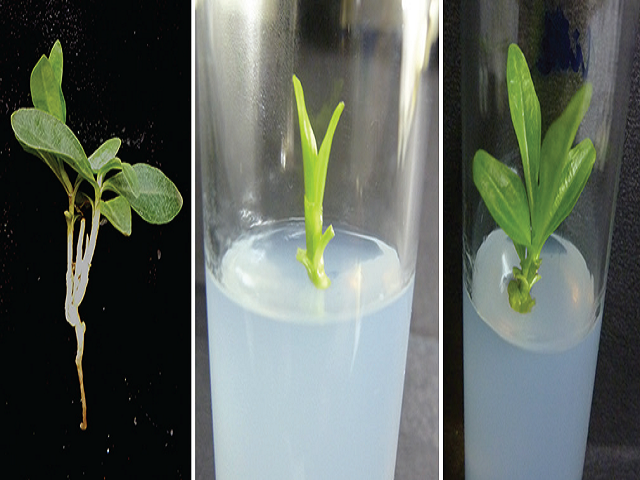 (a) Field-grown Enicostemma littorale plant, (b) apical meristem showing shoot initiation, (c) and differentiation after 30 days in Murashige and Skoog medium supplemented with B1K0.1
