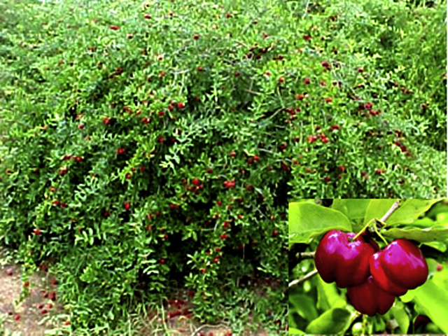 Fruits of acerola (Malpighia emarginata DC).