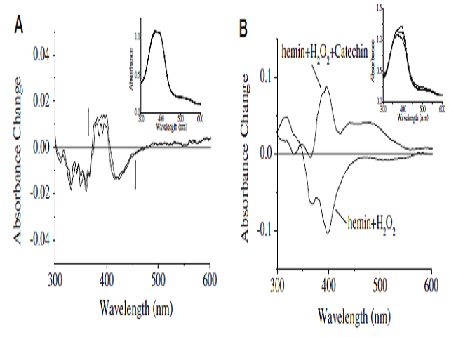 (A) Spectral changes of ferryl hemin after addition of (þ)-catechin. Ferryl hemin was generated by addition of H2O2 to hemin in a 1:1 ratio at pH 7.4. After 15 min, catalase was added (10 U) and then (þ)-catechin (20 mM, final concentration). The final hemin concentration was 20 mM. Difference spectra derived from (Inset) in which initial ferryl hemin spectrum has been set to zero. Inset: absorbance spectra taken approximately every 1 min after the addition of (þ)-catechin. (B) Spectral changes of hemin after addition of H2O2 in the presence of (þ)-catechin. Hemin (20 mM) was incubated with H2O2 (20 mM)-catechin (20 mM) at 37 C for 20 min. Difference spectra derived from (Insert) in which hemin spectrum has been set to zero. Inset: absorbance spectra taken approximately 20 min after the addition of (þ)-catechin.