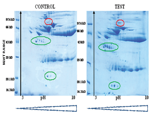 Comparison of the 2D gel electrophoresis of serum proteins of normal subjects (Control) and chronic pancreatitis patients (Test) in 12% SDS-PAGE (second dimension) in which 350 μg of protein was loaded into IEF. The figure is the representative of 5 individual experiments conducted by using pooled serum samples.