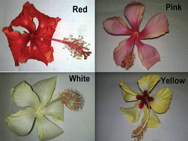 Red, Pink, White and Yellow cultivars of Hibiscus rosa- sinensis L. under study.