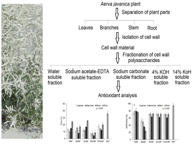 Antioxidant Potential of Cell Wall Polysaccharides Extracted from Various Parts of Aerva javanica