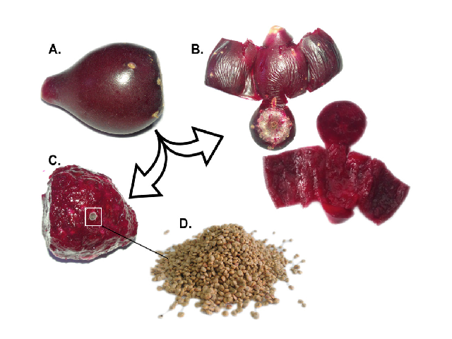 Composition of Opuntia stricta Haw. fruit. A. Fruit, B. Fruit peel, C. Fruit pulp, D. Seeds