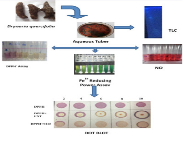Antioxidant Activities and Thin Layer Chromatographic Analysis of Aqueous Extract of Tubers of Drynaria quercifolia (L).J.Sm