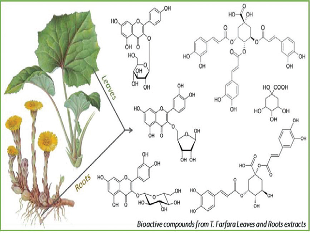 Identification and in vitro Activity of Bioactive Compounds Extracted from Tussilago farfara (L.) Plant Grown in Lithuania and France